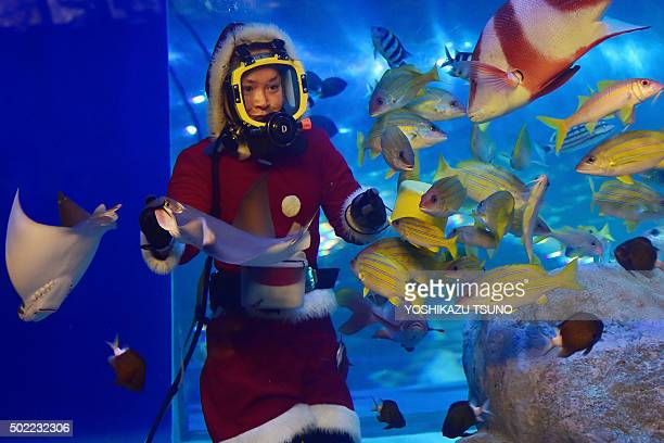 A female diver dressed in a Santa Claus costume feeds fish at the Shinagawa Aquarium in Tokyo on December 22 2015 The aquarium is holding the...