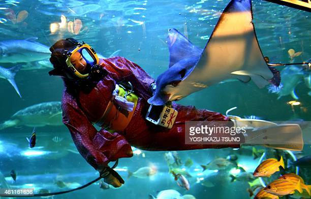 A female diver wearing a kimono feeds a ray during a new year feeding show at the Shinagawa aquarium in Tokyo on January 8 2013 Visitors can watch...