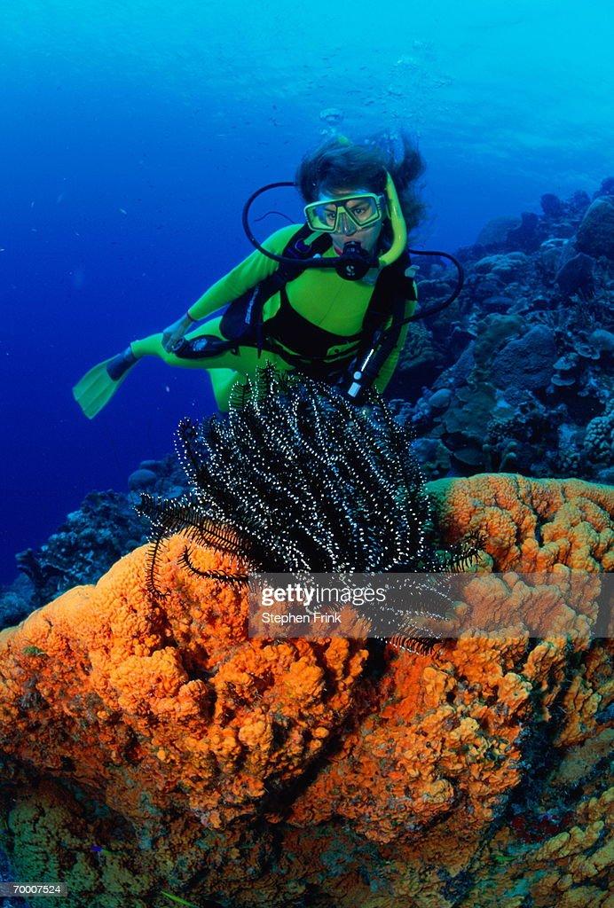 Female diver with crinoid and orange elephant ear sponge, Bonaire : Stock Photo