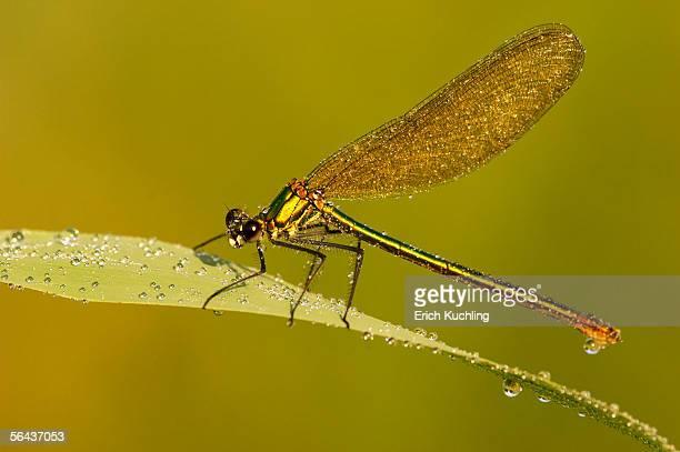 Female dragonfly (aeshna cyanae) on leaf