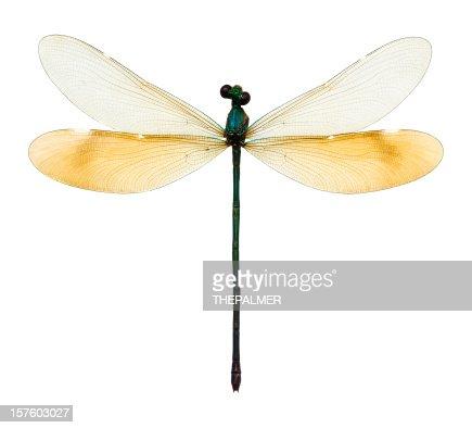 female dragonfly taxidermy
