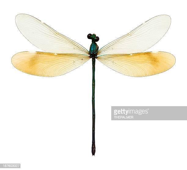 Weibliche Libelle Taxidermie