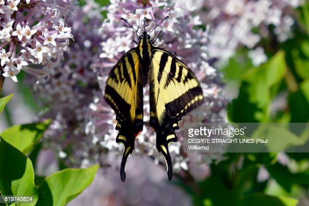 Female Eastern Tiger Swallowtail (Papilio Glaucus)