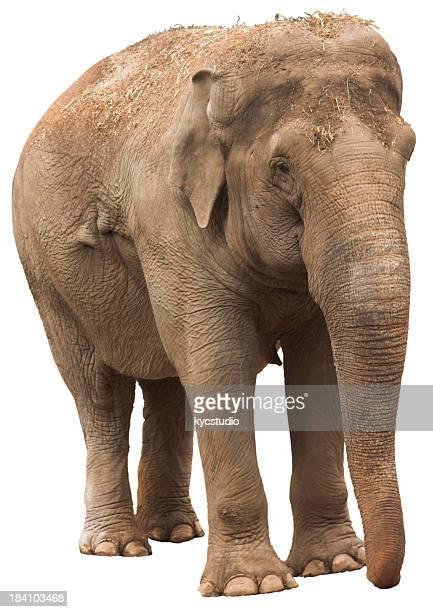 Éléphant Lady-Tracé de détourage