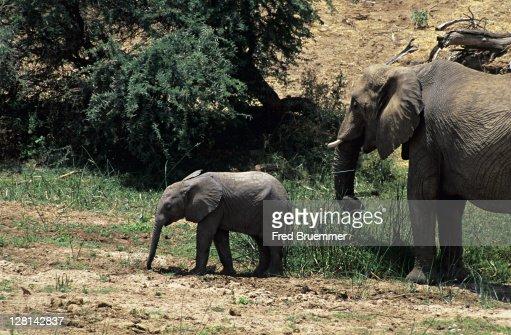 Female elephant with baby. Loxodonta africana. Samburu National Park, Kenya : Stock Photo