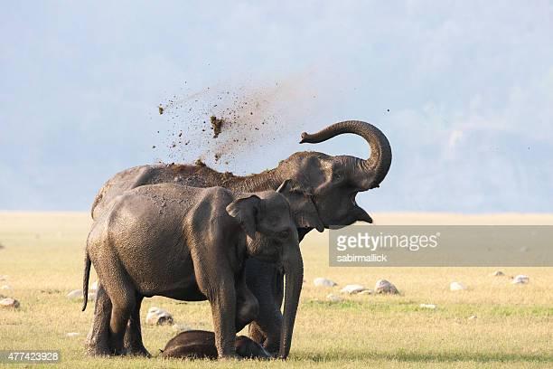 Female Elephants with calf.