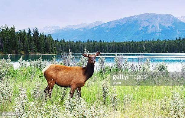 Femme debout près d'elk lake, parc National de Jasper, Canada