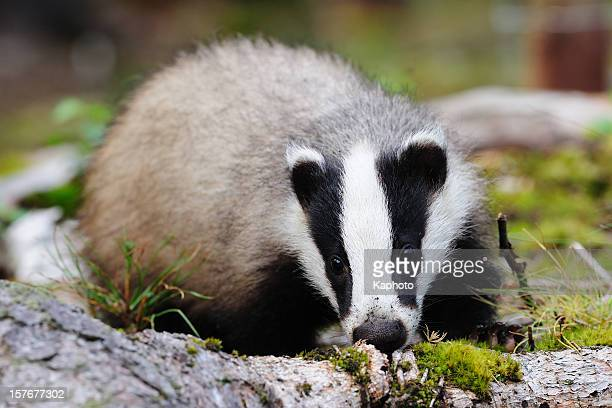 Female Eurasian badger