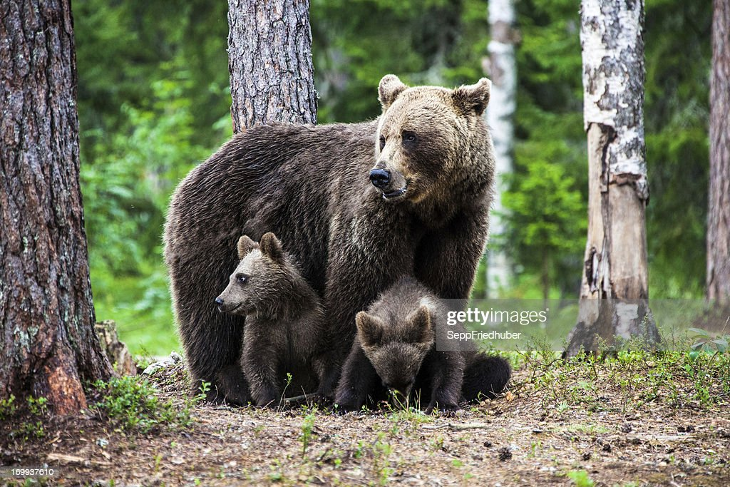 Female european brown bear with cubs