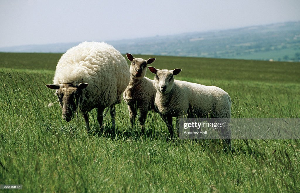 Female ewe and two lambs in a field : Stock Photo