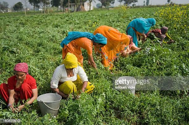 Female farm workers picking green pea pods, Farrukh Nagar, Gurgaon, Haryana, India