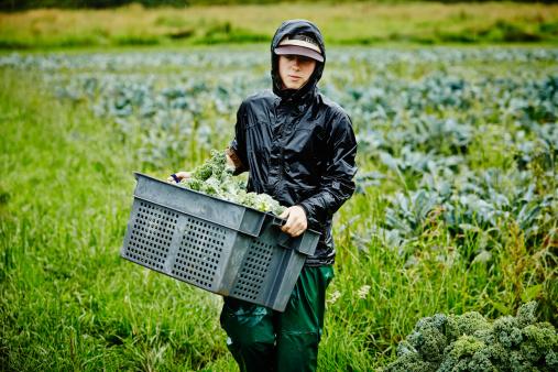 Female farmer harvesting kale carrying bin