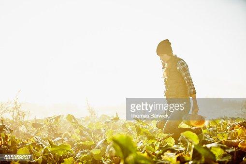 Female farmer harvesting organic squash at sunrise