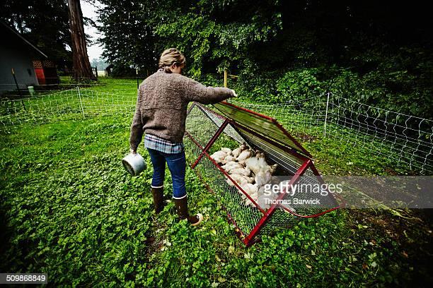 Female farmer lifting lid to chicken run