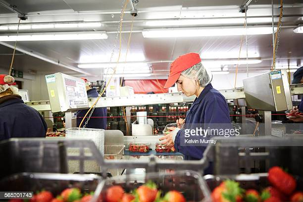 A female fruit packer checks strawberries