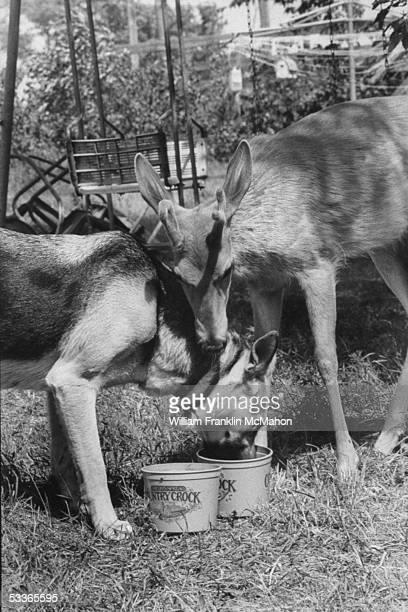 Female German shepherd Bullet drinking water with male deer Bambi who was a starving fawn who came to live on the Van Veldhuizen farm was readily...