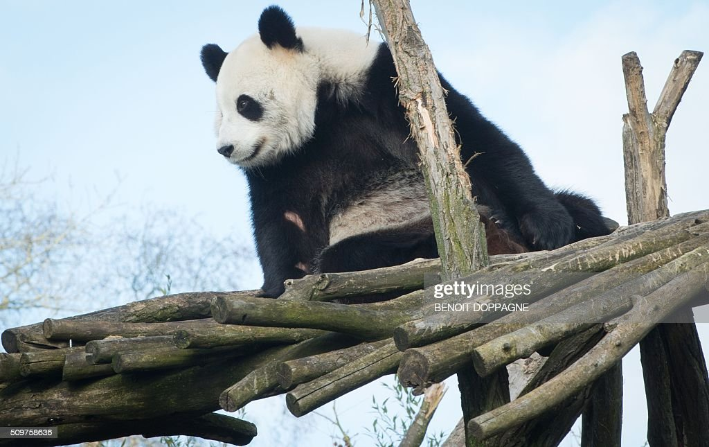 Female giant Panda Hao Hao is pictured at Pairi Daiza animal park on February 12, 2016 in Brugelette. Two Chinese experts have been called in to the animal park in Belgium to help two giant pandas Haoi Hao and Xing Hui reproduce. / AFP / Belga / BENOIT DOPPAGNE / Belgium OUT