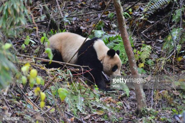 Female giant panda named 'Ying Xue' undergoes survival training in the wild and will be released into the Sichuan Liziping National Nature Reserve on...