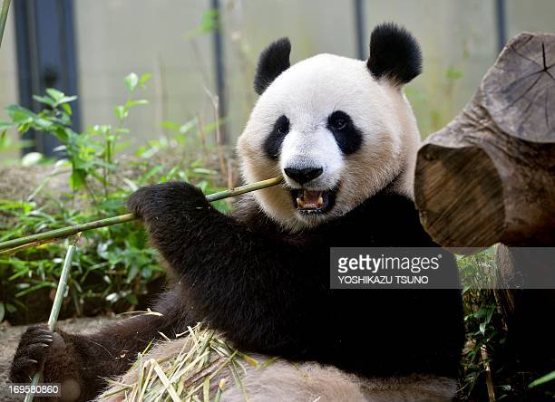 A female giant panda Shin Shin eats bamboo in her cage at Tokyo's Ueno zoo on May 28 2013 Shin Shin has showing signs of being pregnant the zoo said...