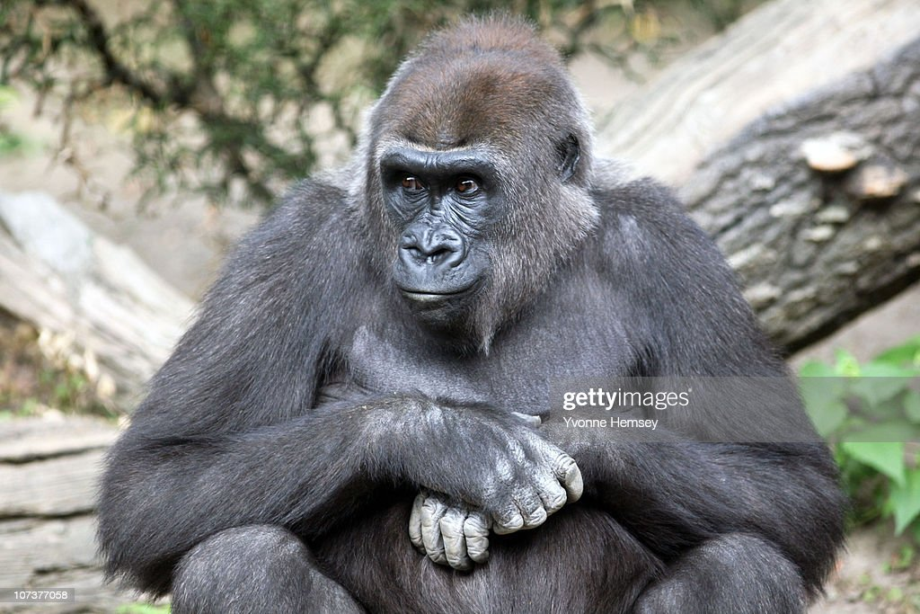 A female gorilla sits at the Bronx Zoo's Congo Gorilla Forest Exhibit September 16, 2010 in the Bronx borough of New York City.