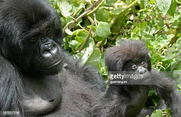 Female Gorilla with baby in Rwanda (part of a series)