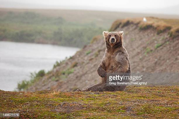 Female grizzly bear sitting