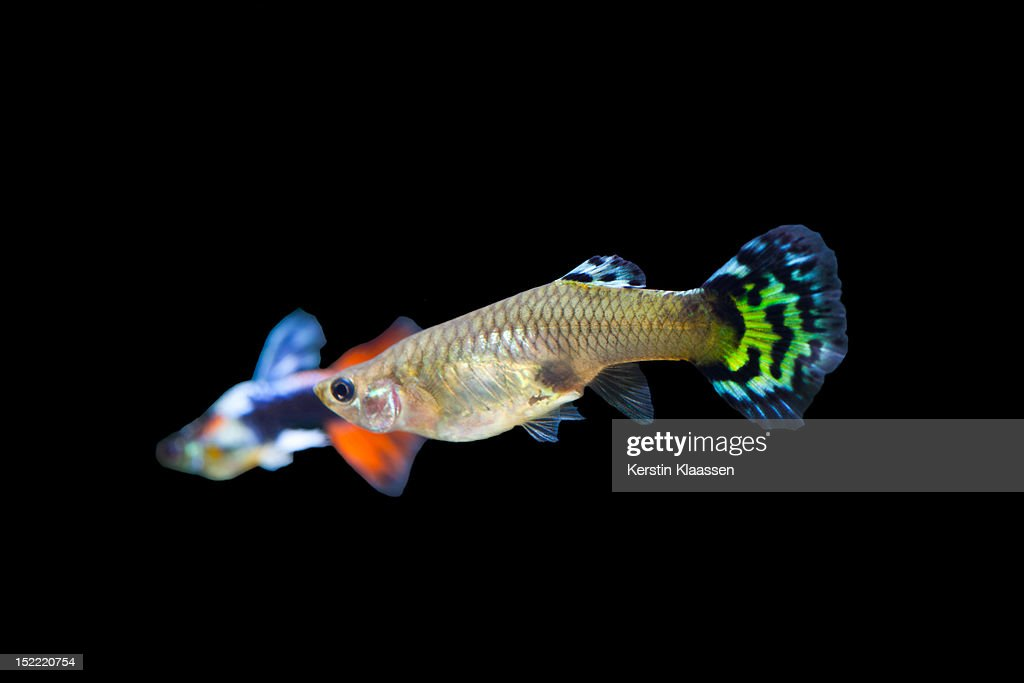 Female guppy : Bildbanksbilder