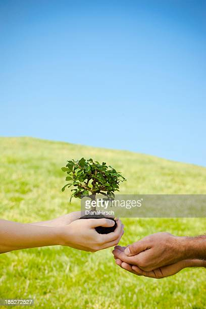 female hands with bonsai tree