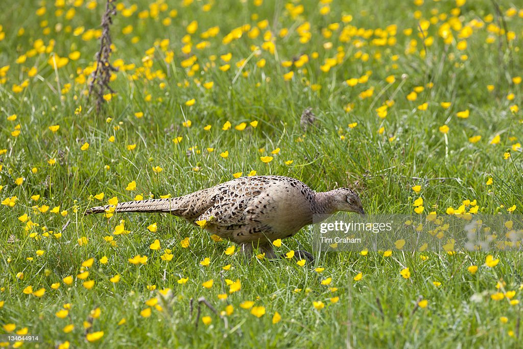 Female hen pheasant Phasianus colchicus leaving her nest in meadow in The Cotswolds Oxfordshire UK