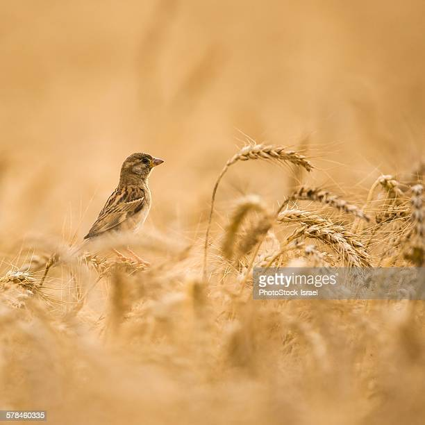 Female House Sparrow (Passer domesticus) in a wheat field, close-up
