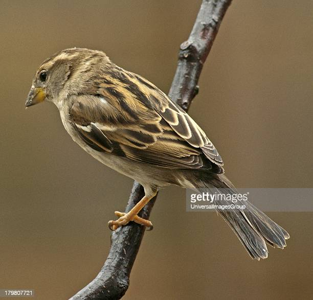 Female House Sparrow Perches on Tree Limb