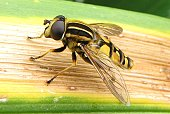 Female Hoverfly (Sunfly)