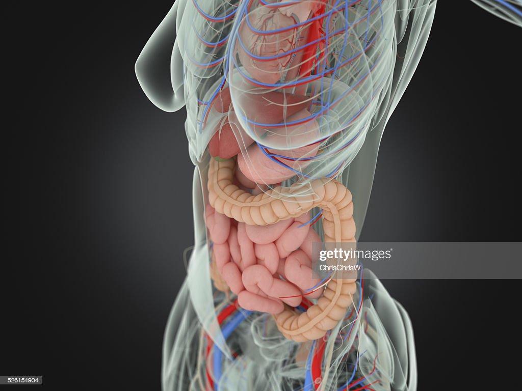 Diagram Of Female Intestines Wiring Diagram Schematic