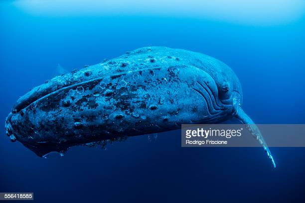 A female humpback resting in the depths around Roca Partida Island, Mexico