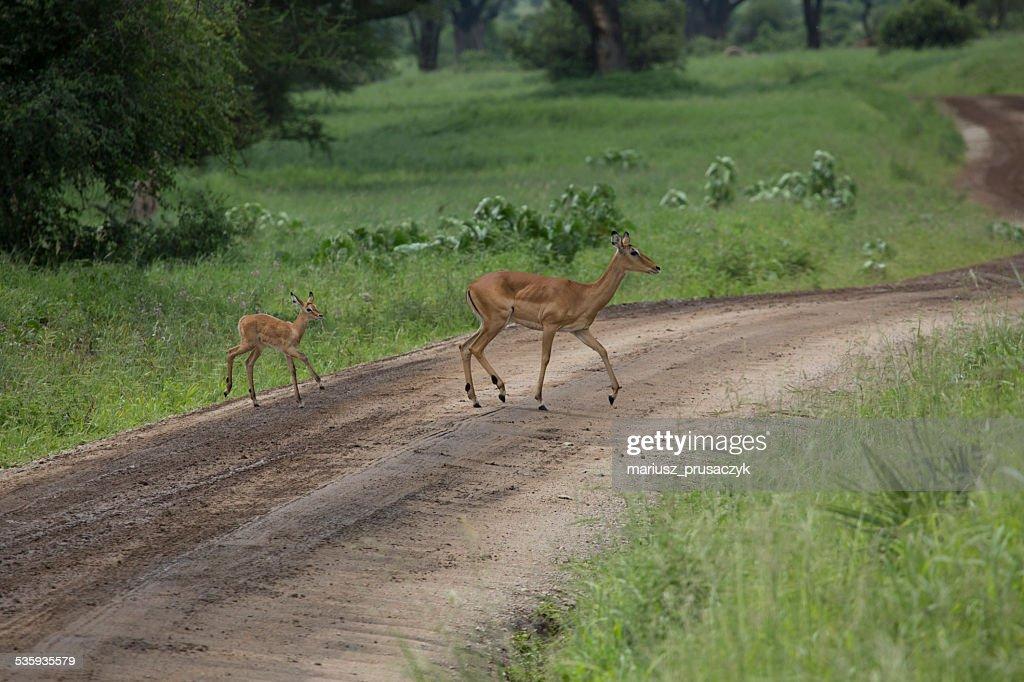 Female impala with young impala. Tarangire National Park - Wildl : Stock Photo