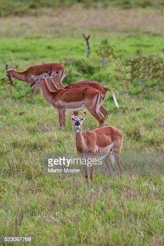 Female Impalas -Aepyceros melampus-, one checking the wind, Lake Nakuru National Park, Kenya, East Africa, Africa, PublicGround