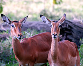 Two female Impalas staring directly into the camera.