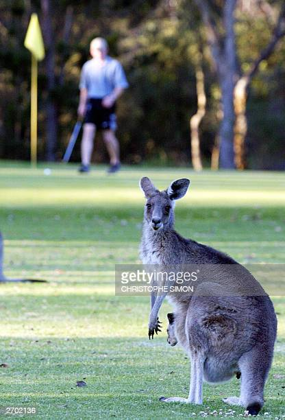 A female kangoro stands with her baby on the fairway as a golfer walks by at Stanthorpe golf in Stanthorpe 225 km South west Brisbane 03november 2003...