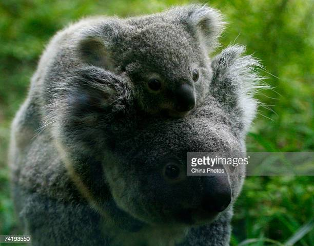 A female koala named Uki who gave birth to a female cub carries her baby at the Guangzhou Xiangjiang Safari Park on May 19 2007 in Guangzhou of...
