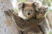 Close up of a female koala carrying a young joey up a eucalyptus tree on Raymond Island in Gippsland Australia.