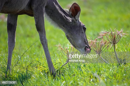 Female Kudu eating Pink ground lily flowers on fresh green grass, Kruger National Park, South Africa