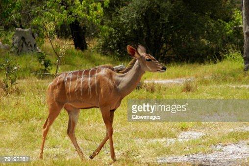 Female kudu (Tragelaphus strepsiceros) in a forest, Okavango Delta, Botswana : Stock Photo