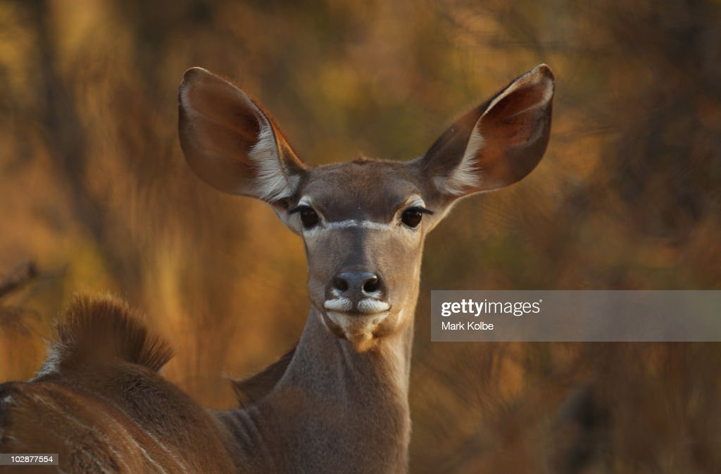 A female Kudu watches on at Pilanesberg National Park on June, 2010 in Rustenburg, South Africa. Situated adjacent to Sun City, Pilanesberg is the fourth largest national park in South Africa covering a 55 000 hectare area.