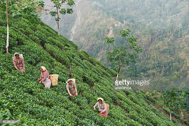 Female labor workers harvesting tea on a hillside