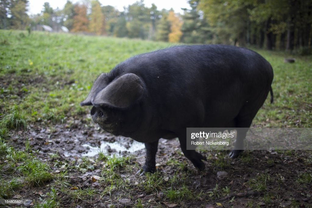 A female Large Black pig moves across a field to a trough of food October 4, 2012 at the Moon in the Pond farm in Sheffield, Massachusetts. Established in 1991 in the Berkshire Mountains, Moon in the Pond farm focuses on raising heritage breed livestock for meat and organic heirloom vegetables sold locally and at farmers' markets.
