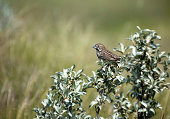 A female Lark Bunting perches in a bush not far from her mate in Grasslands National Park, Saskatchewan.