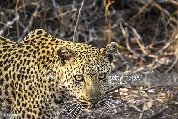 Female Leopard Close-up