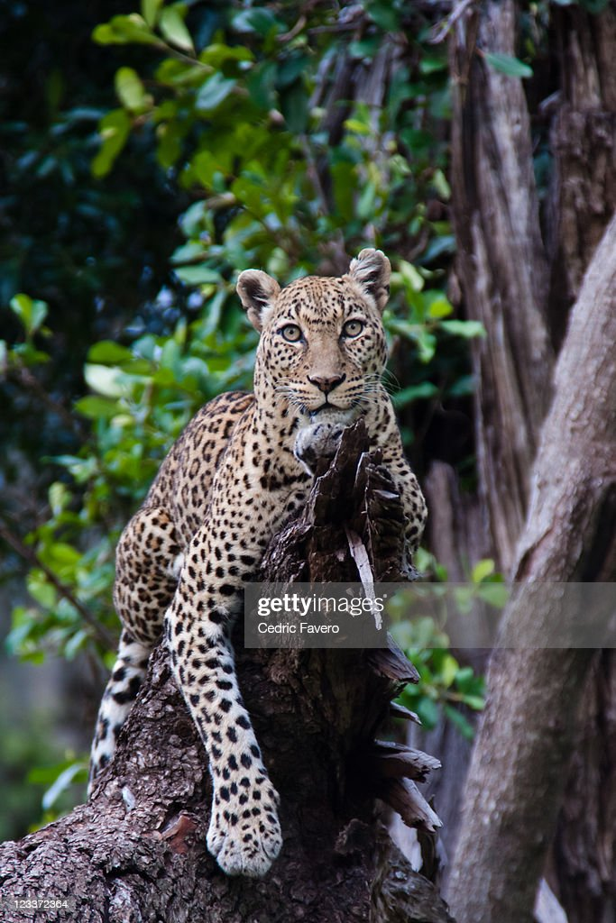 Female leopard laying on branch : Stock Photo