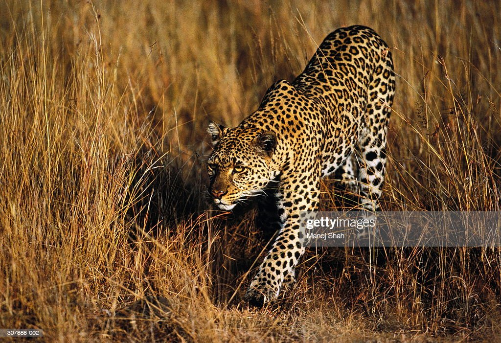 Female leopard prowling in long grass,Maasai Mara,Kenya : Stock Photo