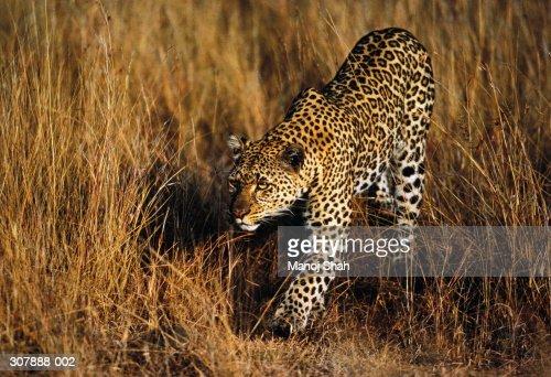 Female leopard prowling in long grass,Maasai Mara,Kenya : Bildbanksbilder